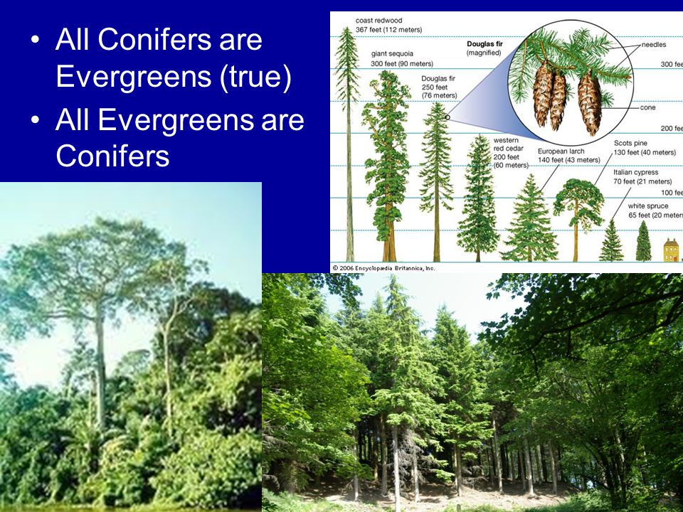 All Conifers are Evergreens (true) All Evergreens are Conifers