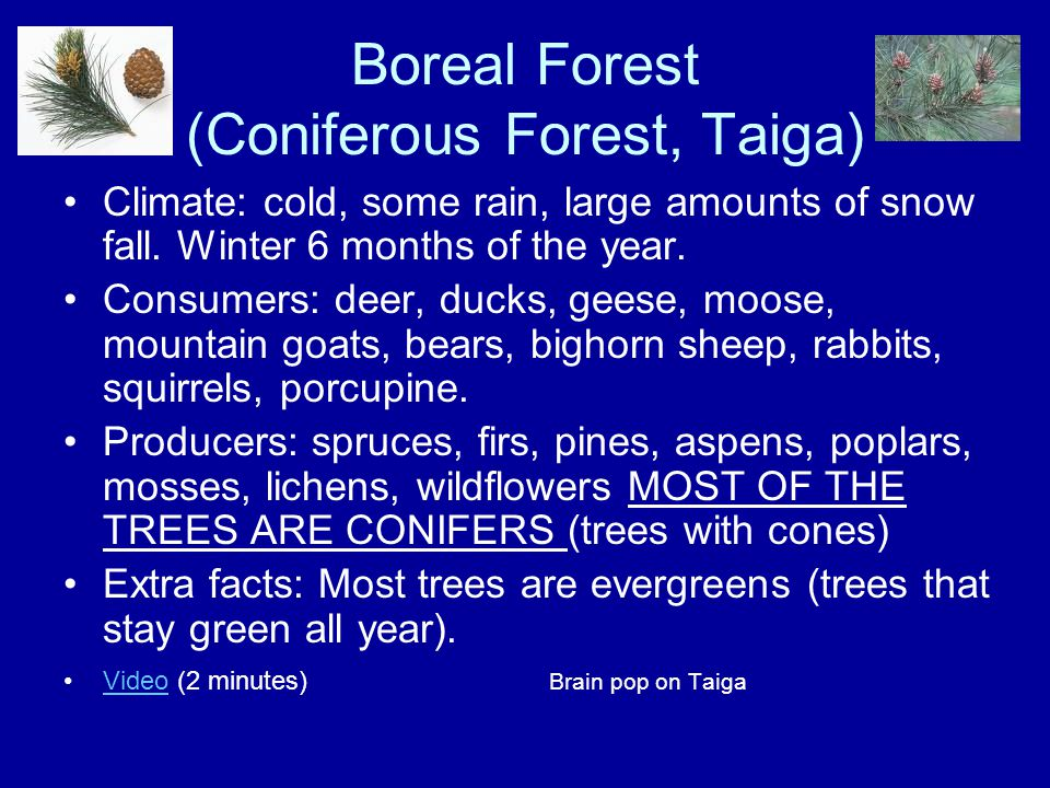 Boreal Forest (Coniferous Forest, Taiga) Climate: cold, some rain, large amounts of snow fall. Winter 6 months of the year. Consumers: deer, ducks, ge