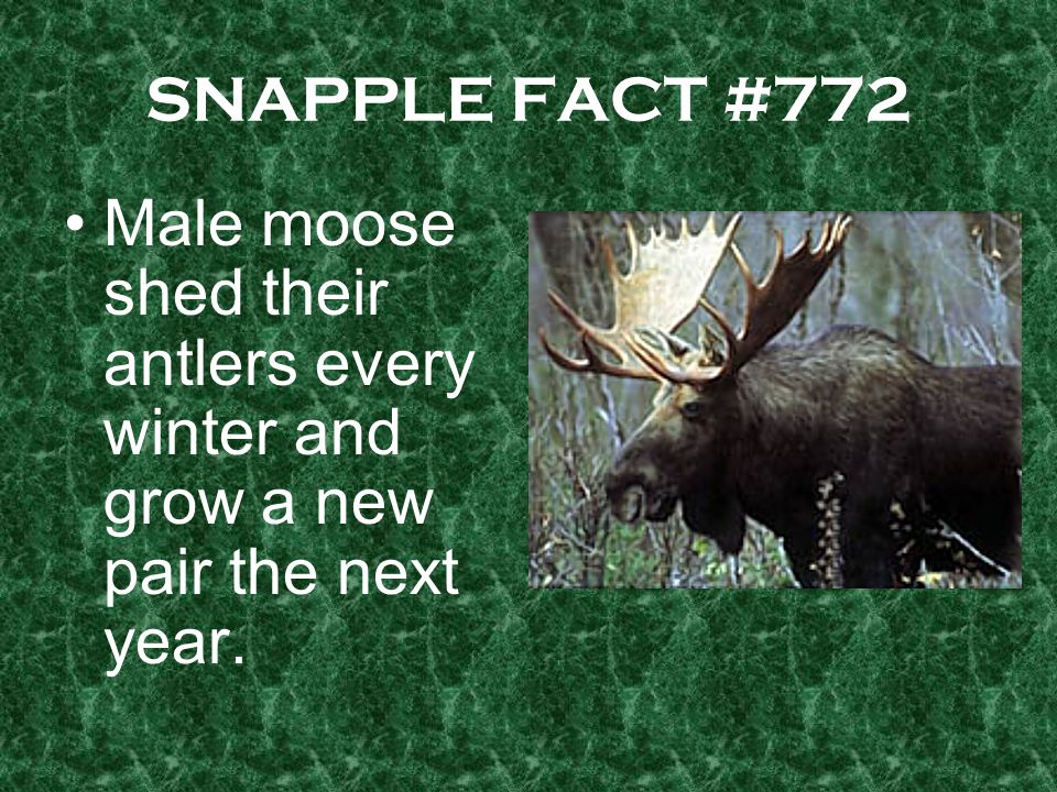 SNAPPLE FACT #772 Male moose shed their antlers every winter and grow a new pair the next year.