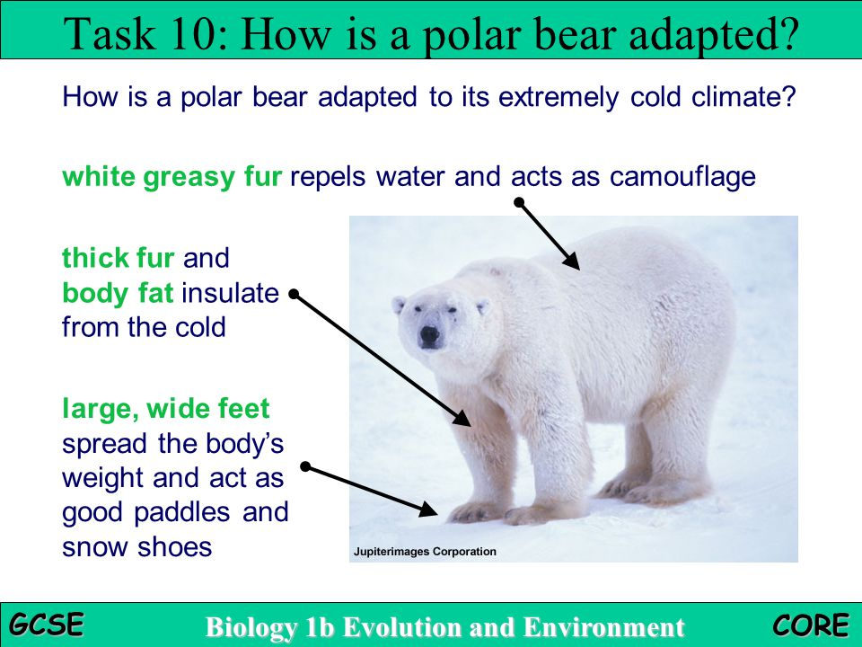 Biology 1b Evolution and Environment GCSE CORE How is a polar bear adapted to its extremely cold climate? Task 10: How is a polar bear adapted? white