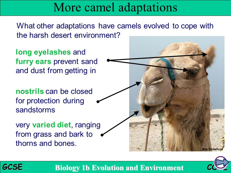 Biology 1b Evolution and Environment GCSE CORE What other adaptations have camels evolved to cope with the harsh desert environment? More camel adapta