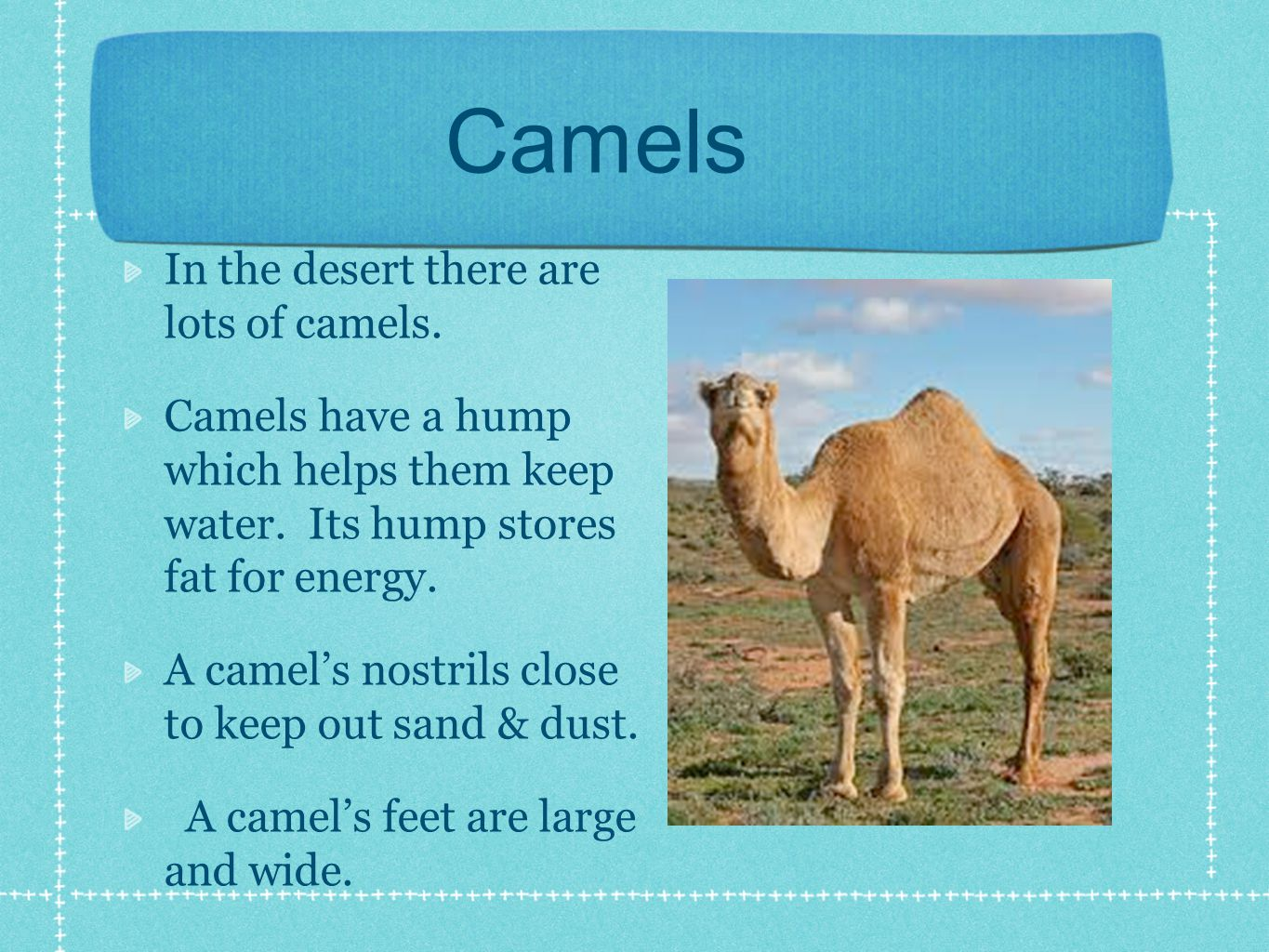 Camel 2 A camel's eyes have a double row of long eyelashes.