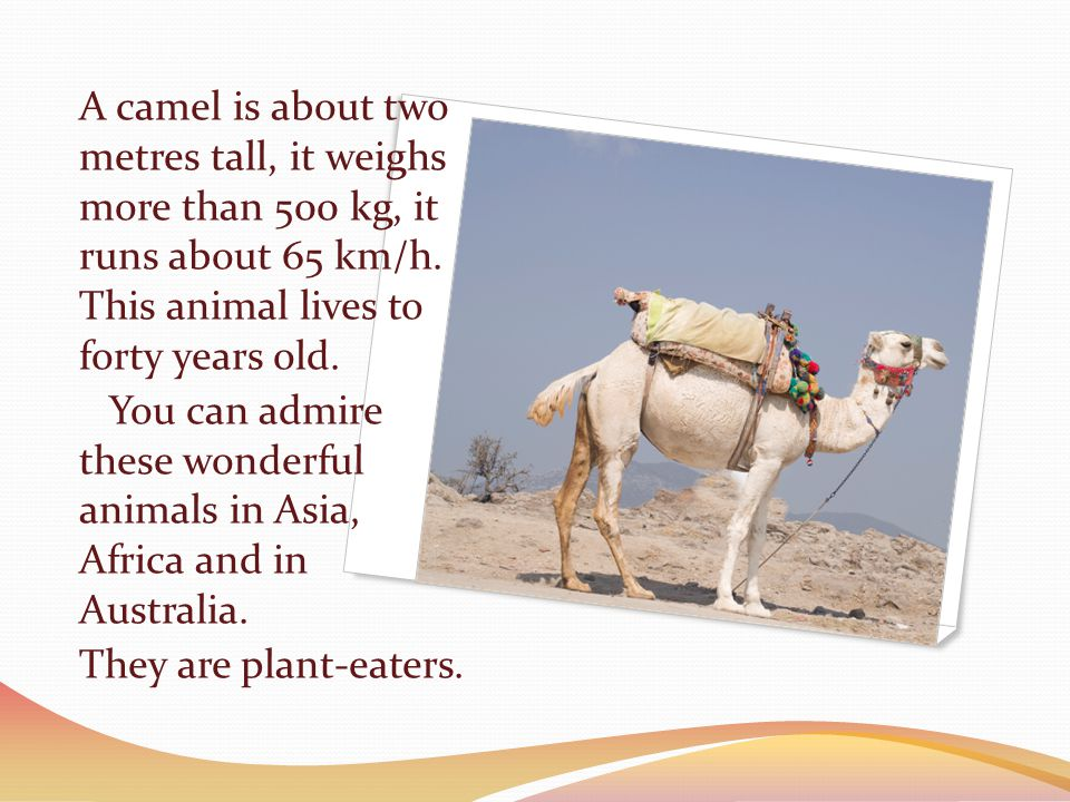 There are two kinds of camels: camels with one hump and camels with two humps.