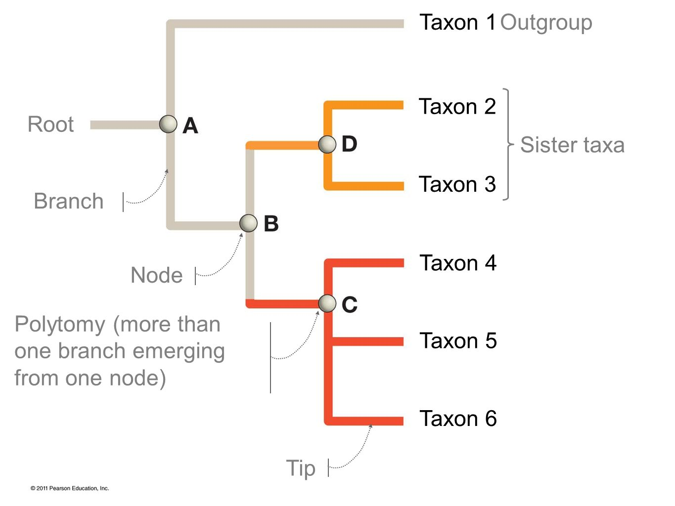 Taxon 1 Taxon 2 Taxon 3 Taxon 4 Taxon 5 Taxon 6 Sister taxa Outgroup Root Branch Node Tip Polytomy (more than one branch emerging from one node)