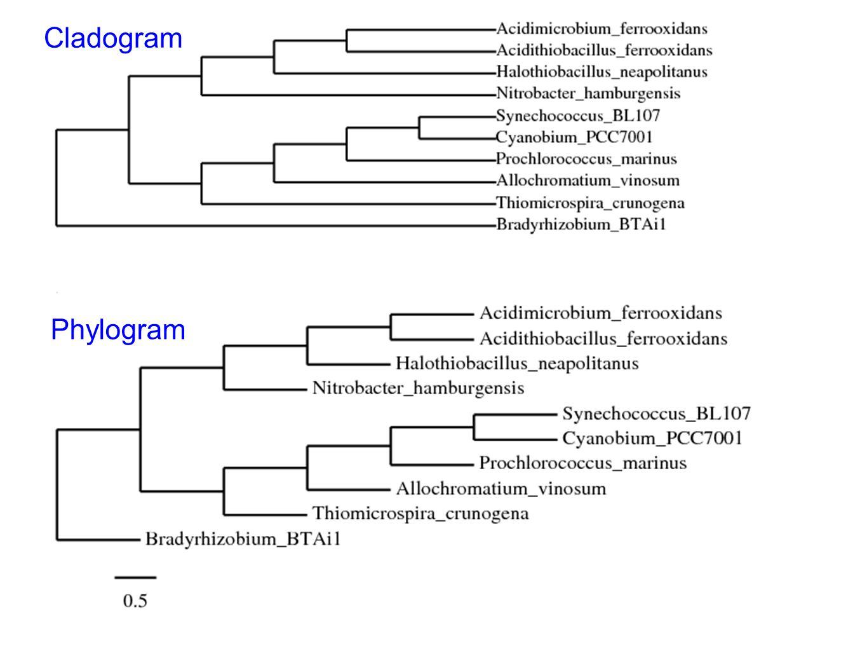 Cladogram Phylogram