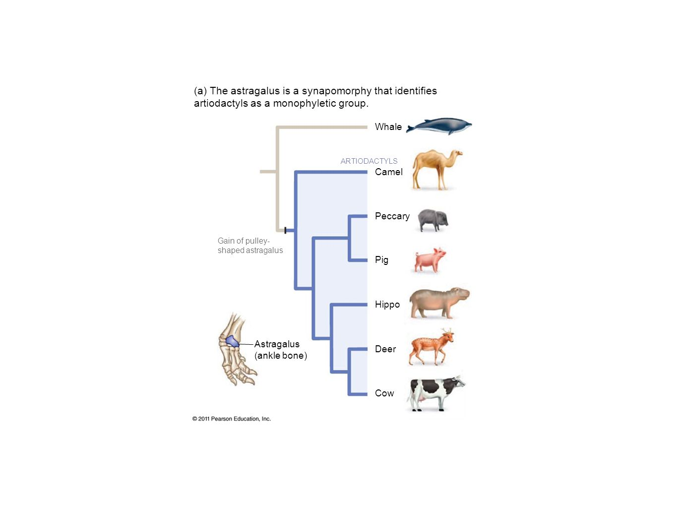 Also contains branch lengths Numbers associated with branches Amount of evolutionary change
