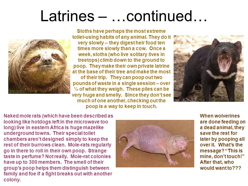 Latrines – …continued… Sloths have perhaps the most extreme toilet-using habits of any animal.