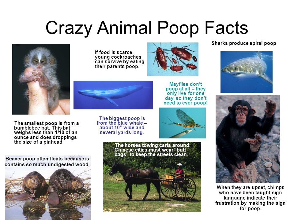 Crazy Animal Poop Facts If food is scarce, young cockroaches can survive by eating their parents poop.