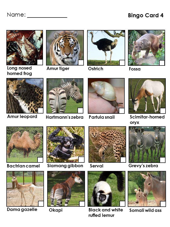 Long nosed horned frog Bingo Card 4 Partula snail Amur tiger Okapi Hartmann's zebra Fossa Grevy's zebra Bactrian camel Serval Somali wild ass Siamang