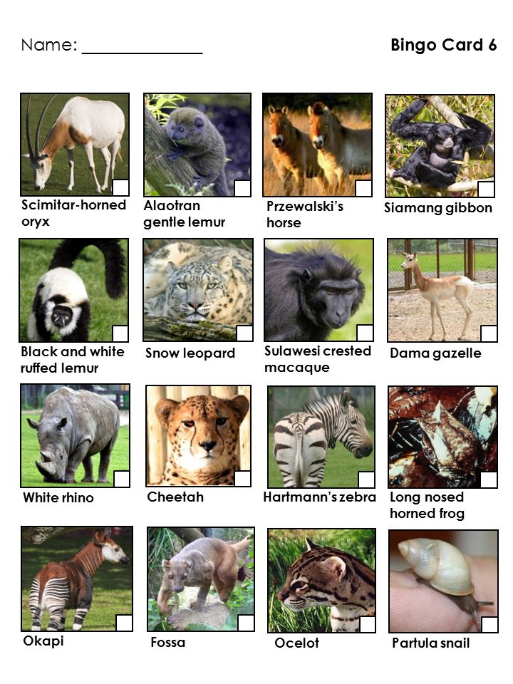 Long nosed horned frog Bingo Card 6 White rhino Cheetah Partula snail Ocelot Siamang gibbon Scimitar-horned oryx Okapi Black and white ruffed lemur Pr