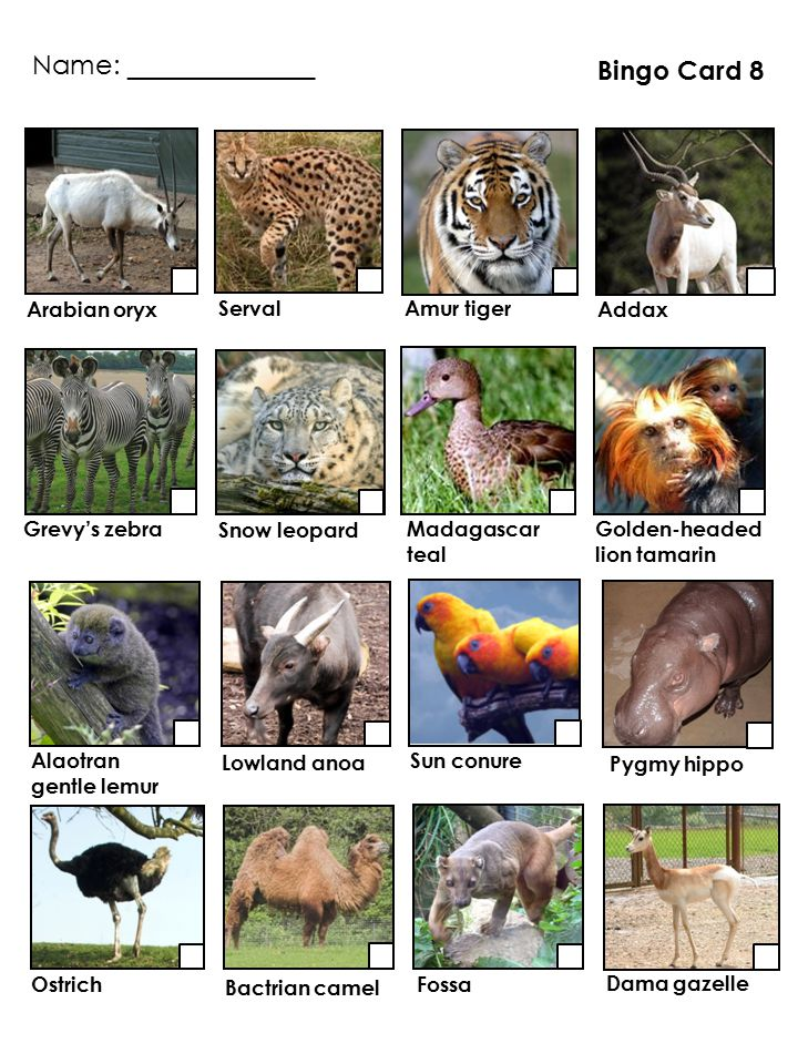 Pygmy hippo Addax Madagascar teal Serval Golden-headed lion tamarin Ostrich Sun conure Alaotran gentle lemur Lowland anoa Grevy's zebra Fossa Arabian