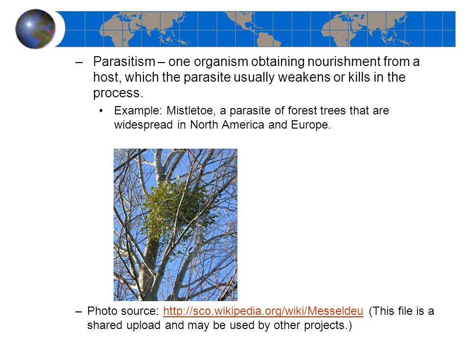 –Parasitism – one organism obtaining nourishment from a host, which the parasite usually weakens or kills in the process. Example: Mistletoe, a parasi