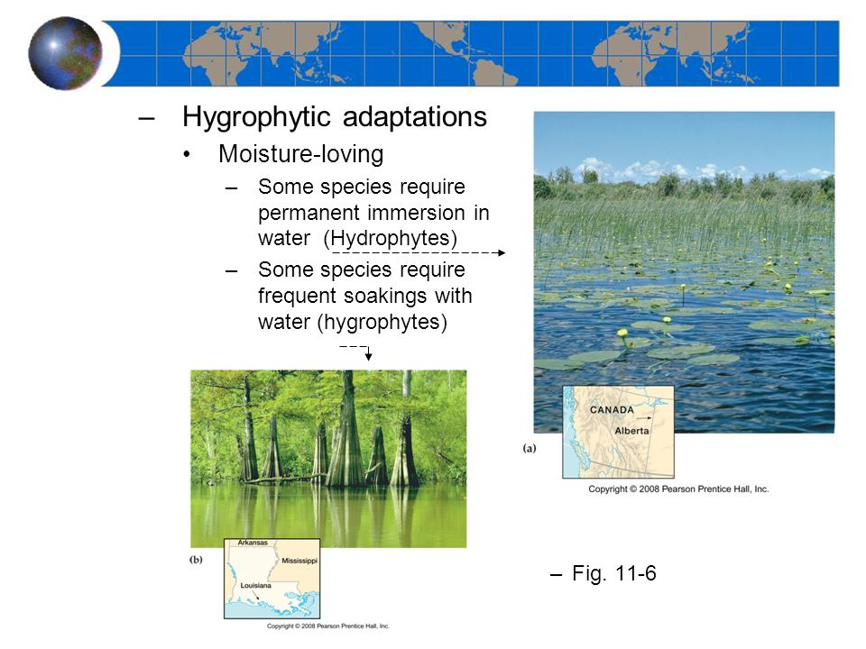–Hygrophytic adaptations Moisture-loving –Some species require permanent immersion in water (Hydrophytes) –Some species require frequent soakings with water (hygrophytes) –Fig.