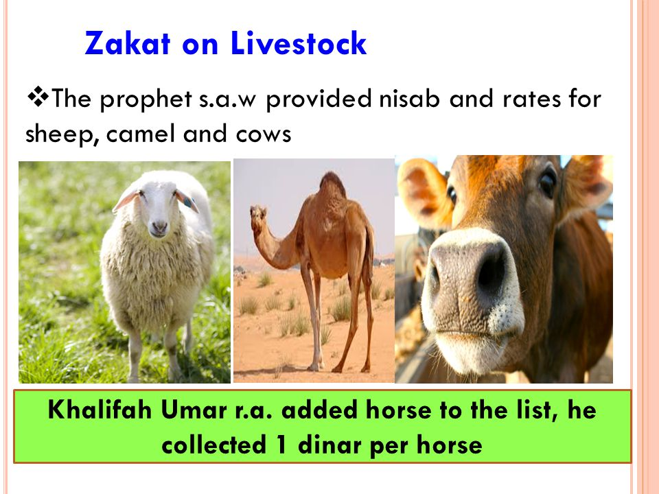 Zakat on Livestock  The prophet s.a.w provided nisab and rates for sheep, camel and cows Khalifah Umar r.a. added horse to the list, he collected 1 d