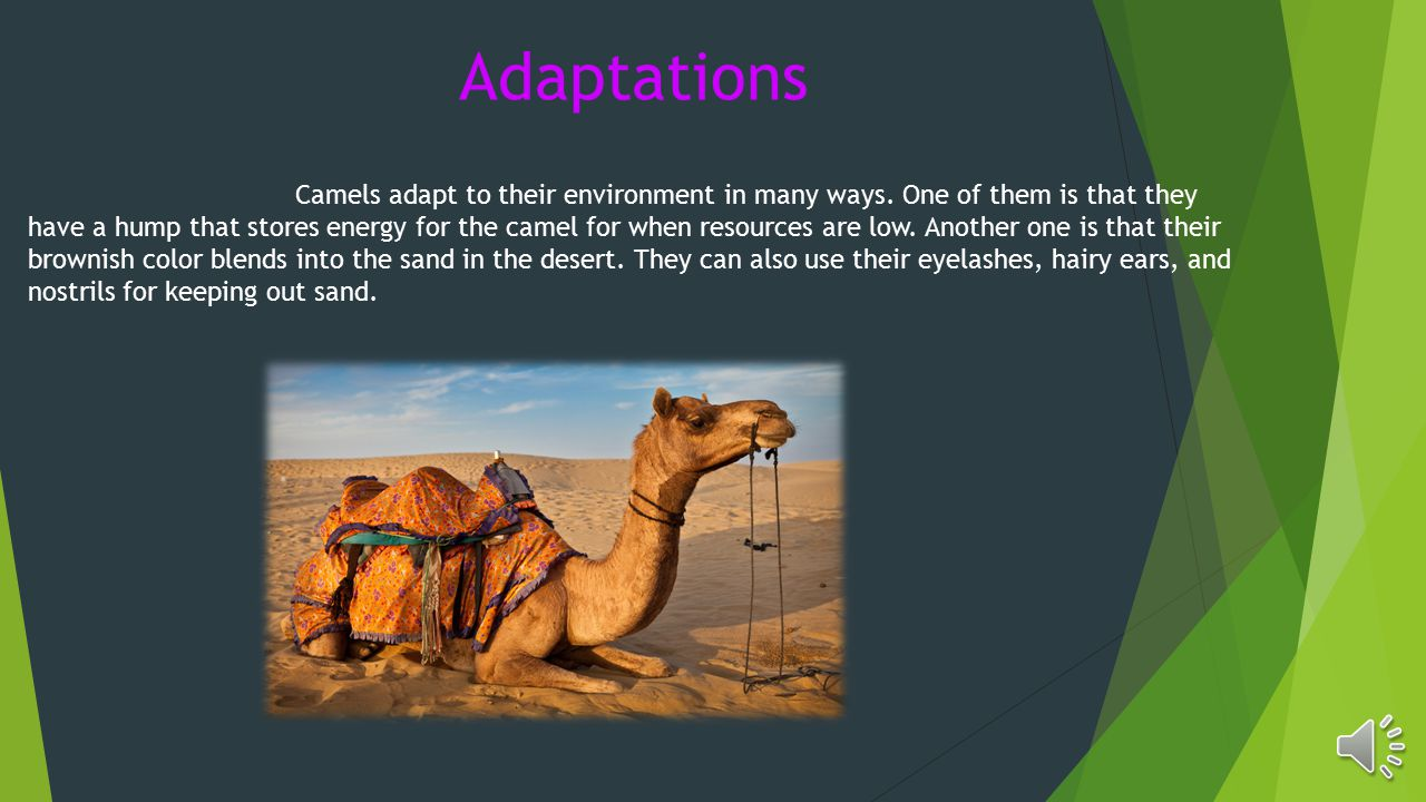 Adaptations Camels adapt to their environment in many ways.