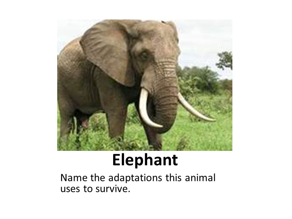 Elephant Name the adaptations this animal uses to survive.