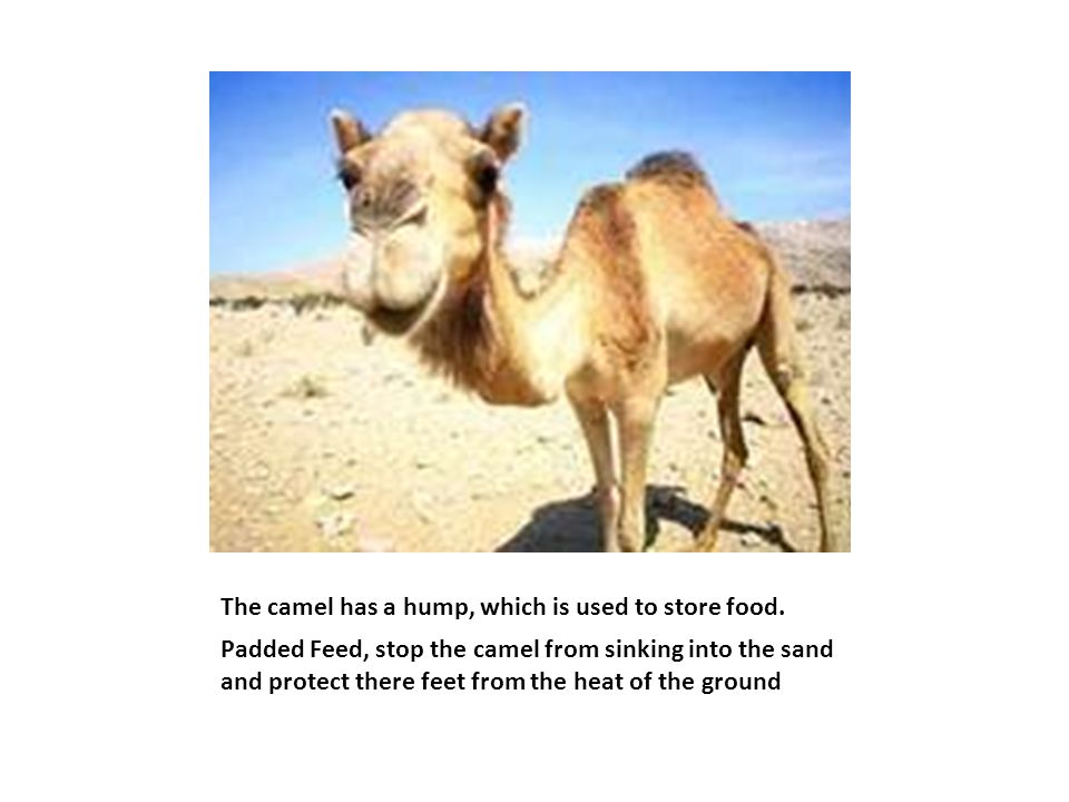 The camel has a hump, which is used to store food. Padded Feed, stop the camel from sinking into the sand and protect there feet from the heat of the