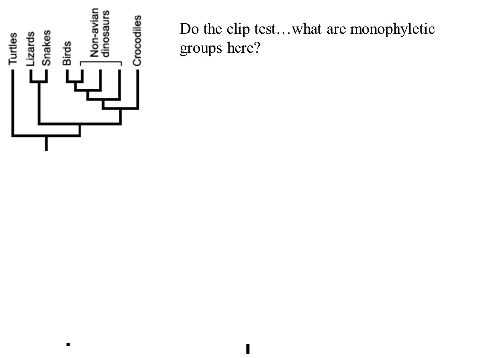 Do the clip test…what are monophyletic groups here?
