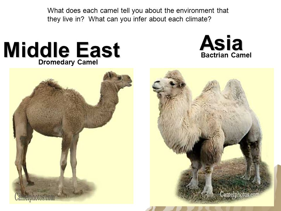 Dromedary Camel Bactrian Camel Middle East Asia What does each camel tell you about the environment that they live in.