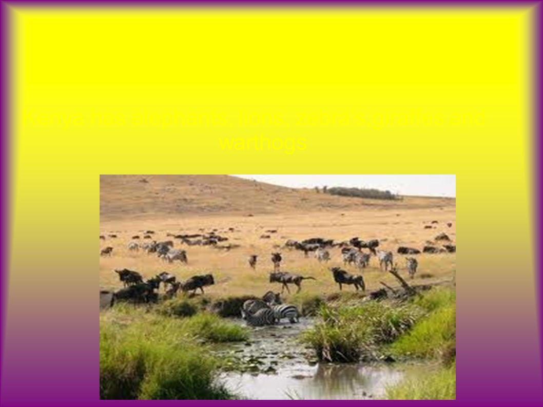 What Wildlife Does Kenya have Kenya has elephants, lions, zebra s,giraffes and warthogs