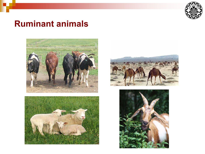 Ruminant animals