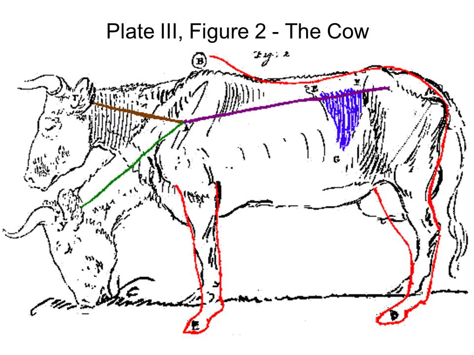 Plate III, Figure 2 - The Cow