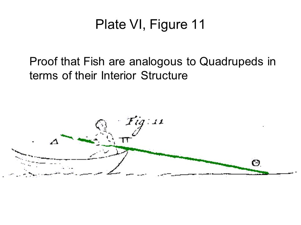 Plate VI, Figure 11 Proof that Fish are analogous to Quadrupeds in terms of their Interior Structure