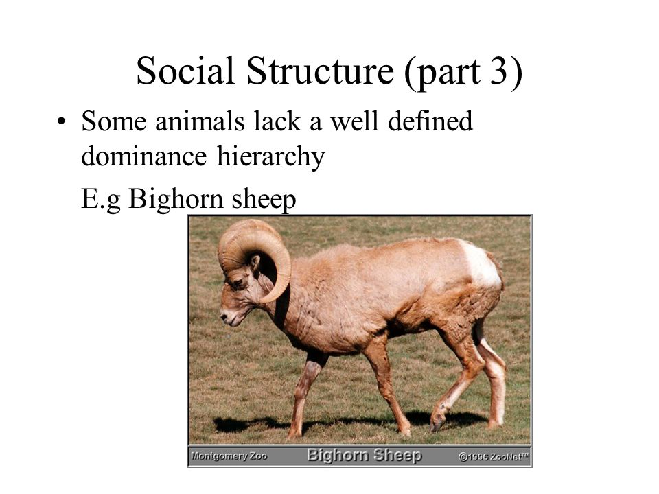 Social Structure (part 3) Some animals lack a well defined dominance hierarchy E.g Bighorn sheep