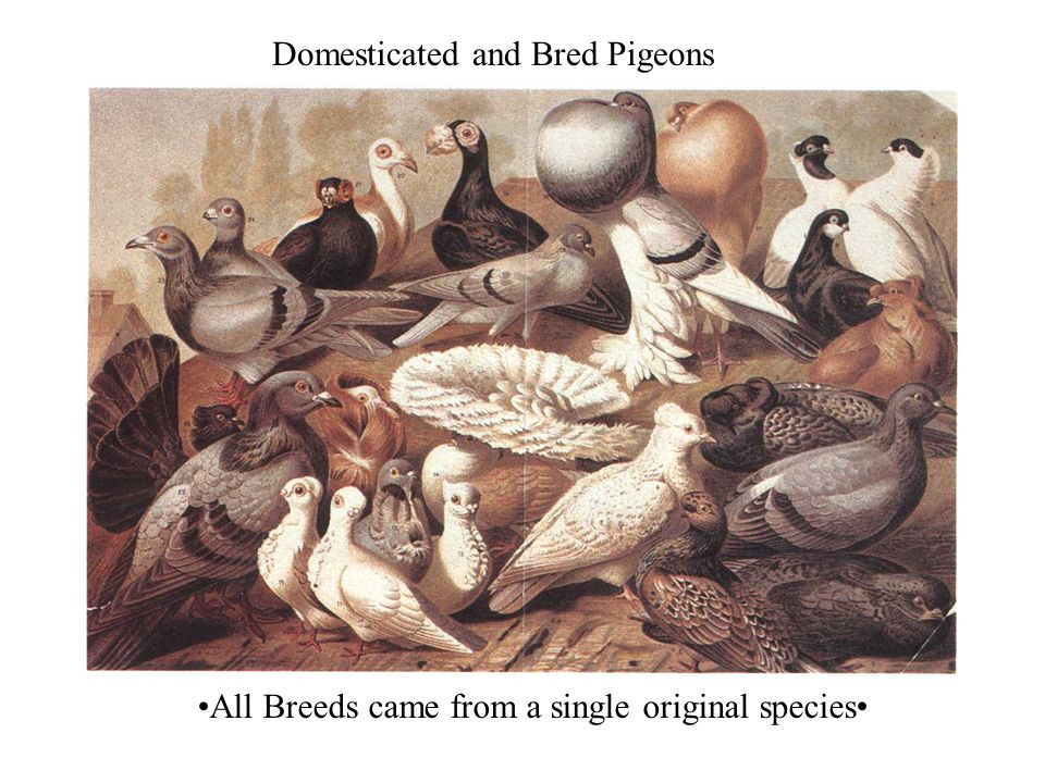 Domesticated and Bred Pigeons All Breeds came from a single original species