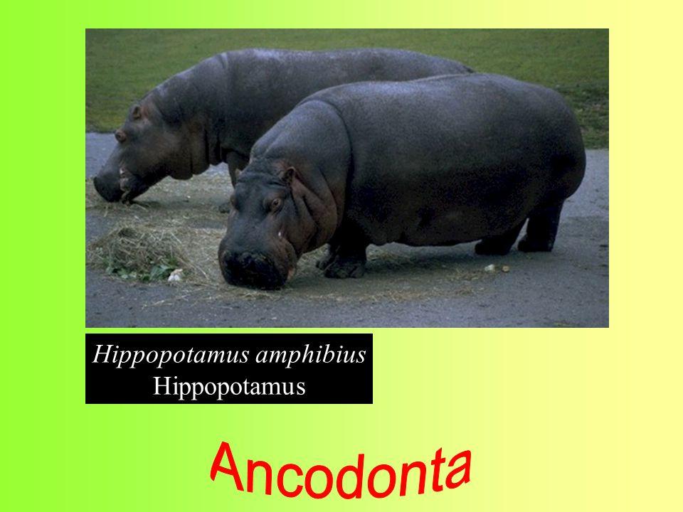 Hippopotamus amphibius Hippopotamus