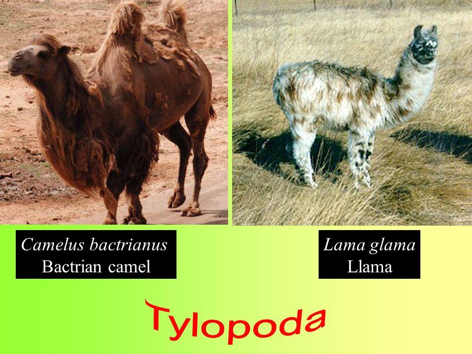 Camelus bactrianus Bactrian camel Lama glama Llama