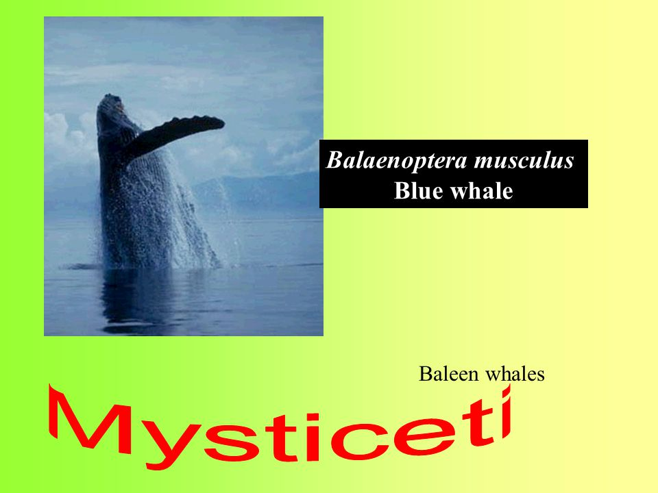 Balaenoptera musculus Blue whale Baleen whales