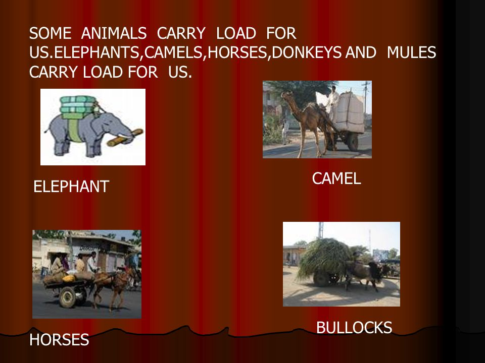 SOME ANIMALS CARRY LOAD FOR US.ELEPHANTS,CAMELS,HORSES,DONKEYS AND MULES CARRY LOAD FOR US. ELEPHANT CAMEL BULLOCKS HORSES
