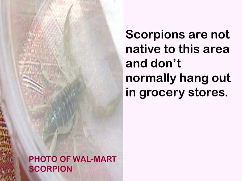 Watermelon Scorpion Scorpions are not native to this area and don't normally hang out in grocery stores.