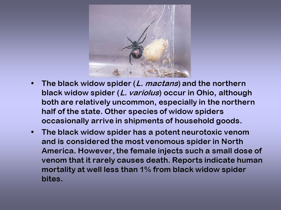 The black widow spider (L. mactans) and the northern black widow spider (L.