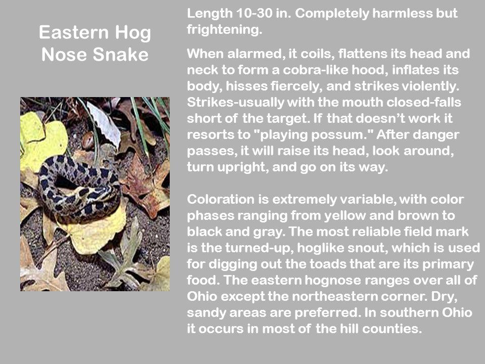Eastern Hog Nose Snake Length 10-30 in. Completely harmless but frightening.
