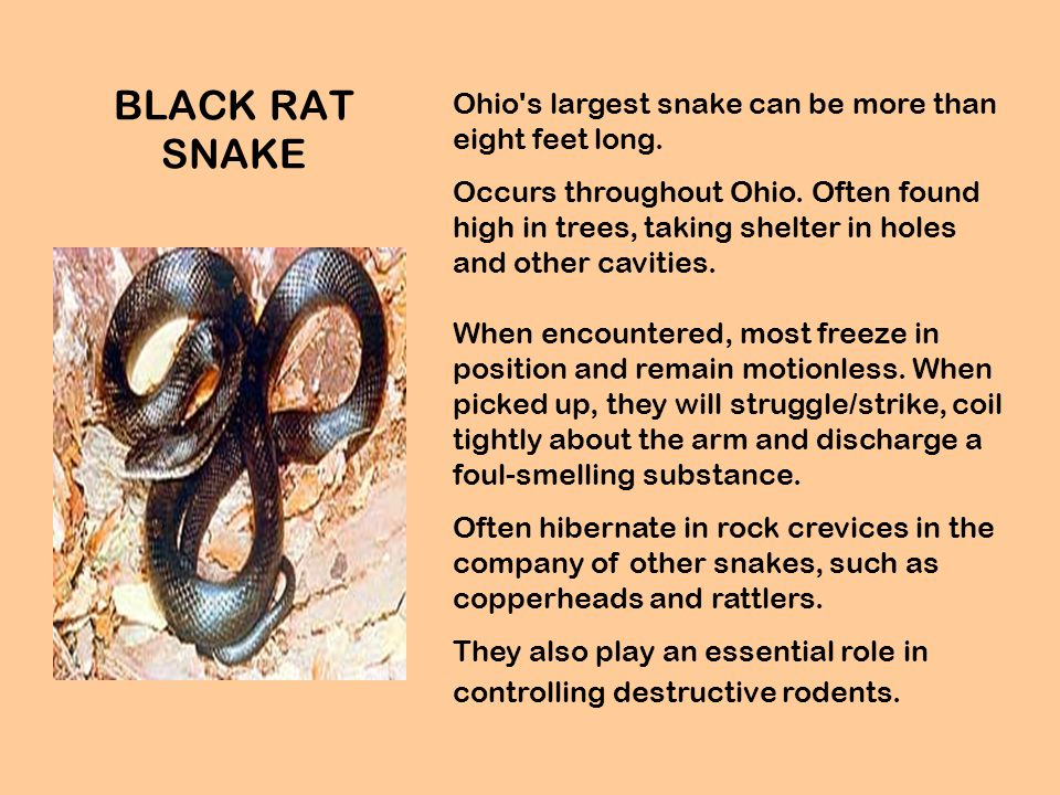 BLACK RAT SNAKE Ohio s largest snake can be more than eight feet long.