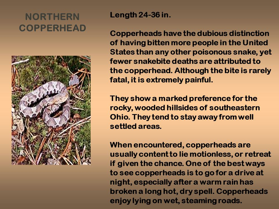 NORTHERN COPPERHEAD Length 24-36 in.
