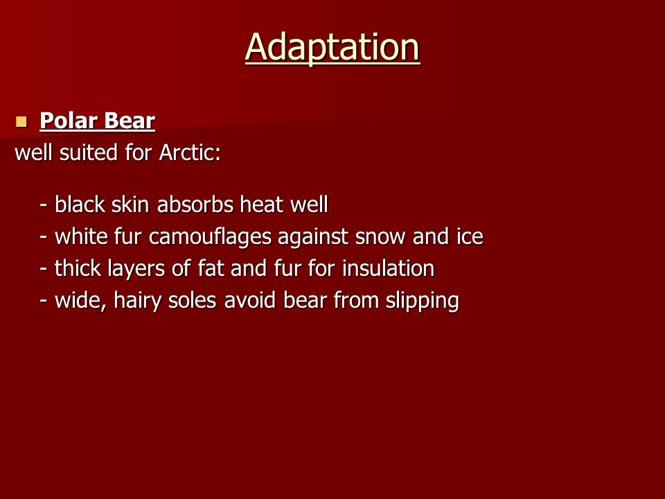 Adaptation Polar Bear Polar Bear well suited for Arctic: - black skin absorbs heat well - white fur camouflages against snow and ice - thick layers of