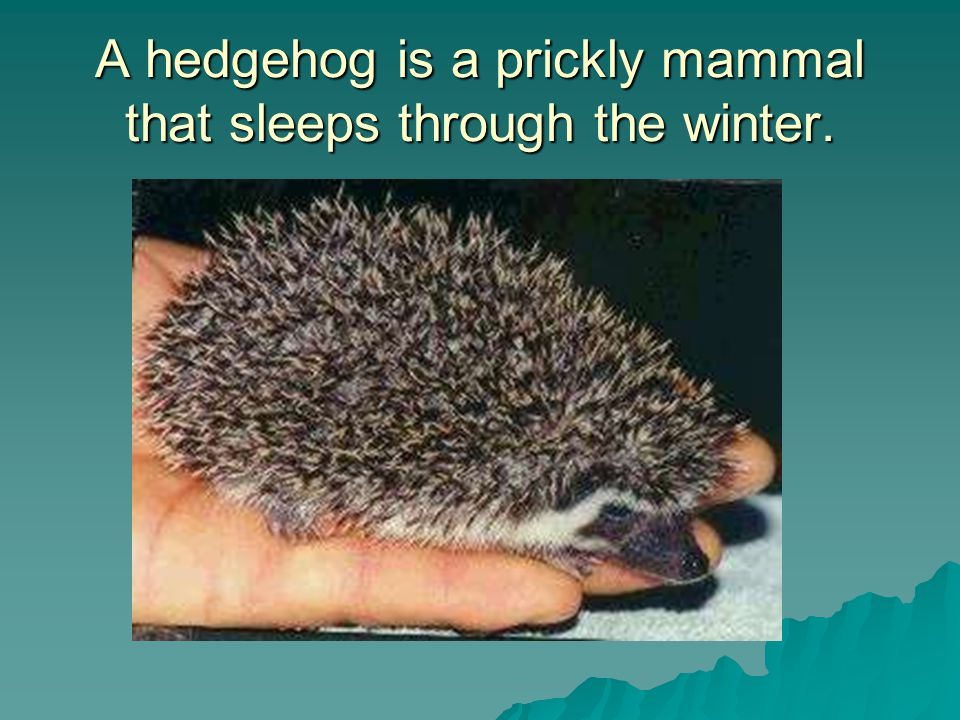 A hedgehog is a prickly mammal that sleeps through the winter.