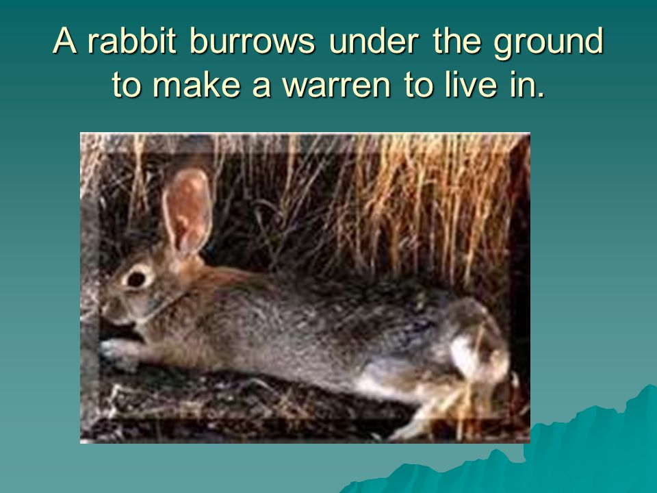 A rabbit burrows under the ground to make a warren to live in.