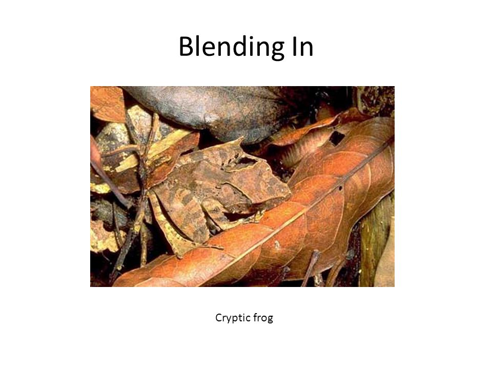 Blending In Cryptic frog