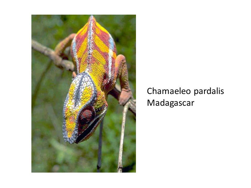 Chamaeleo pardalis Madagascar
