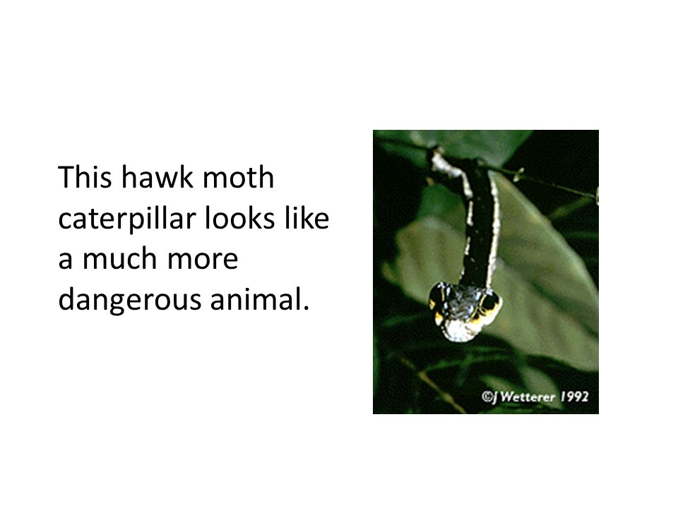 This hawk moth caterpillar looks like a much more dangerous animal.