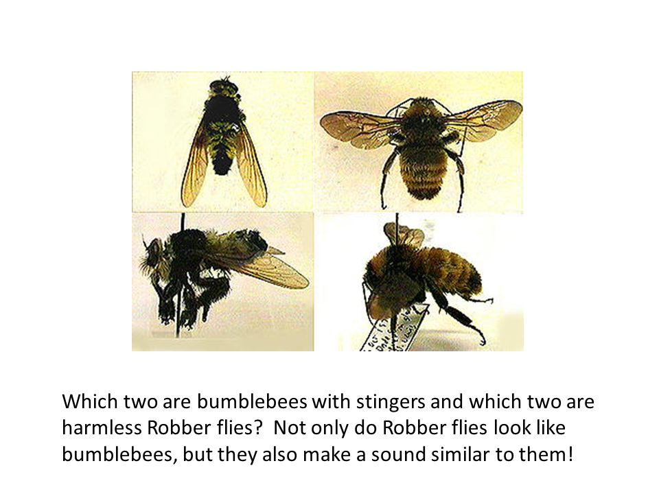Which two are bumblebees with stingers and which two are harmless Robber flies.