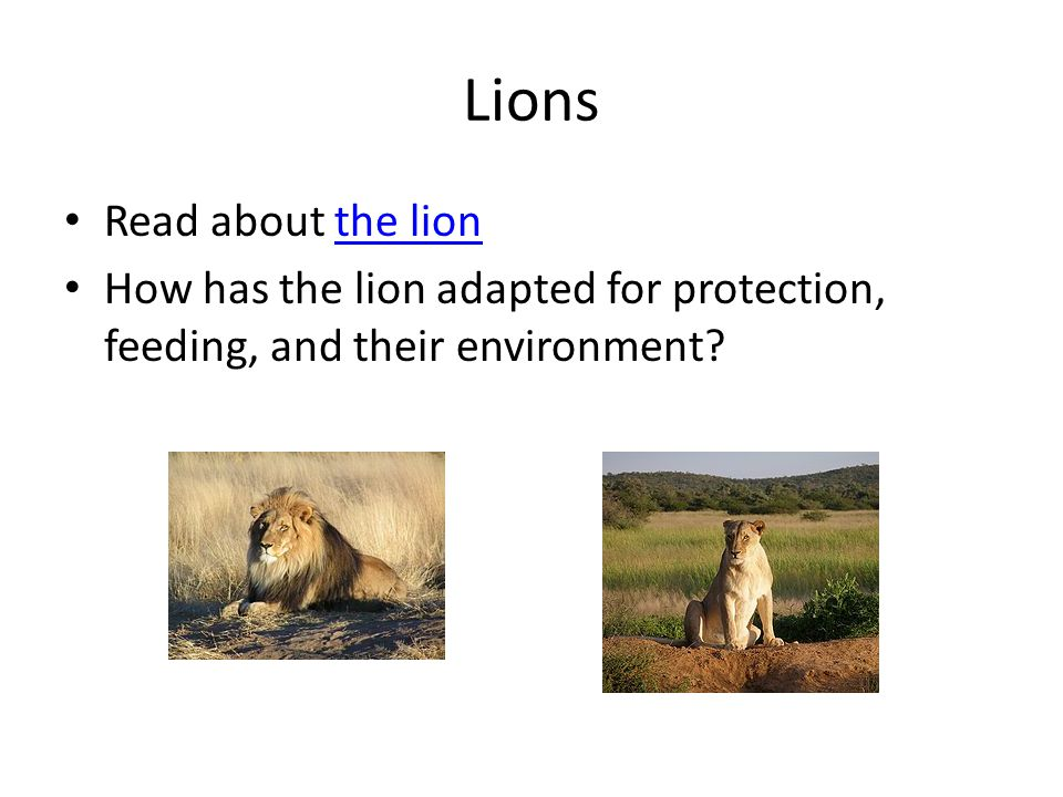Lions Read about the lionthe lion How has the lion adapted for protection, feeding, and their environment?