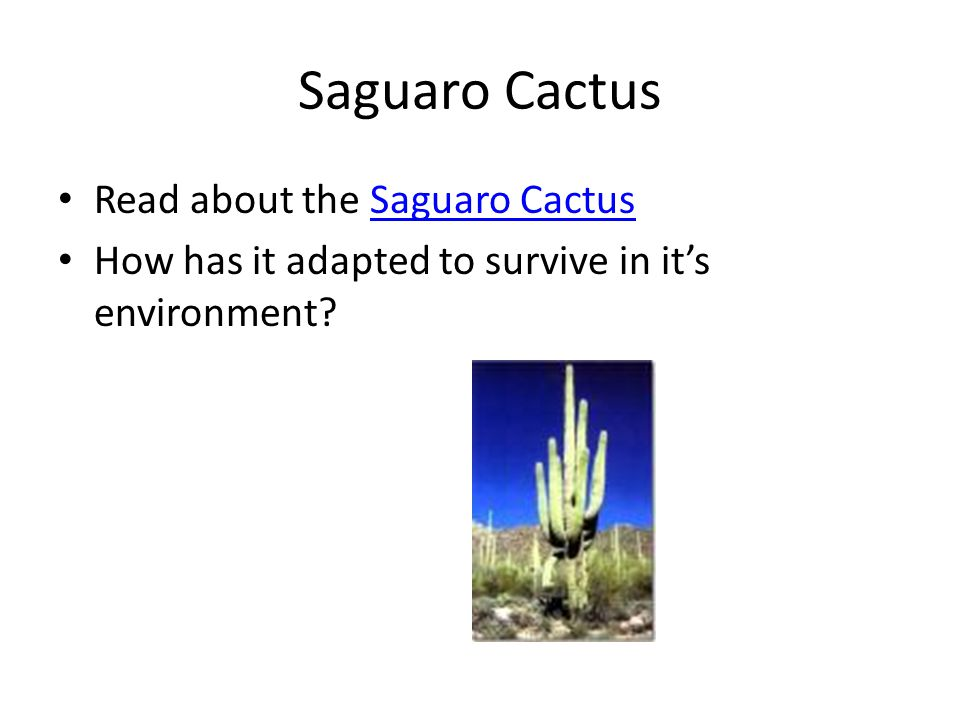 Saguaro Cactus Read about the Saguaro CactusSaguaro Cactus How has it adapted to survive in it's environment?