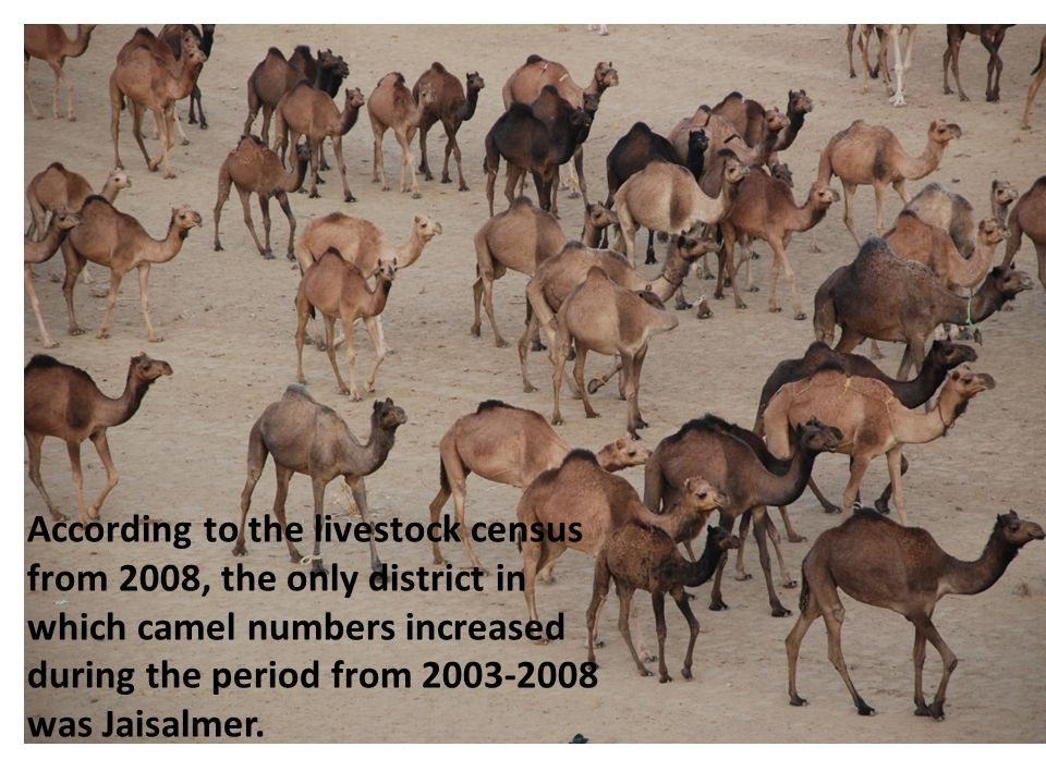 According to the livestock census from 2008, the only district in which camel numbers increased during the period from 2003-2008 was Jaisalmer.