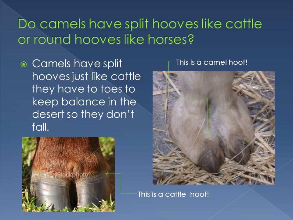  Camels have split hooves just like cattle they have to toes to keep balance in the desert so they don't fall.