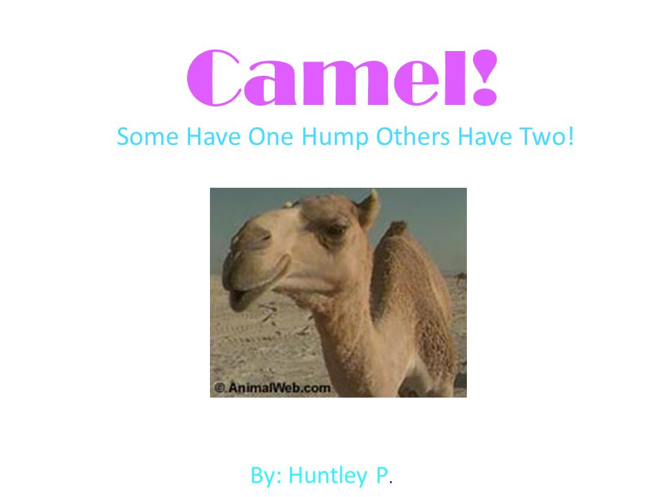 Camel! Some Have One Hump Others Have Two! By: Huntley P.